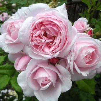 Роза Нахема-2