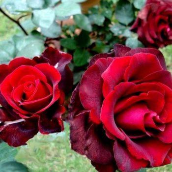 Роза Норита-2