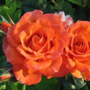 Роза Оранж Мейландина-2