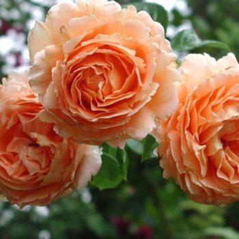 Роза Полька-2