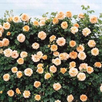 Роза Полька-1