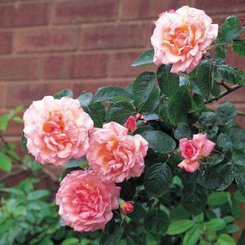 Роза Компассион-1