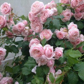 Роза Нахема-1