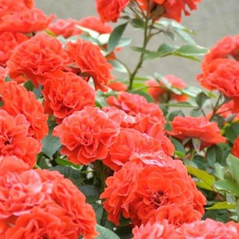 Роза Оранж Мейландина-1