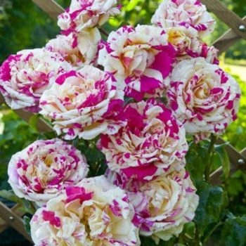 Роза Ваниль Фрайз-2
