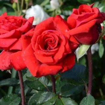 Роза Ред Берлин-2