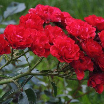 Роза Ред Фейри-2