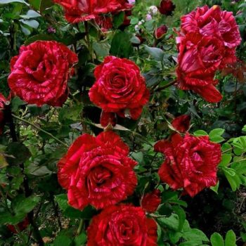 Роза Ред Интуишн-1