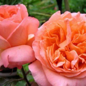 Роза Рене Госсини-2