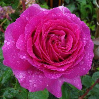 Роза Саманта