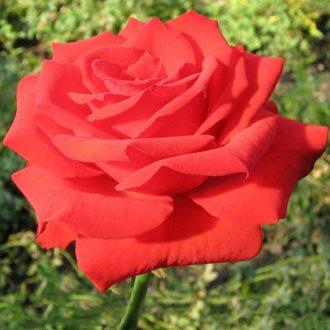 Роза Серенада