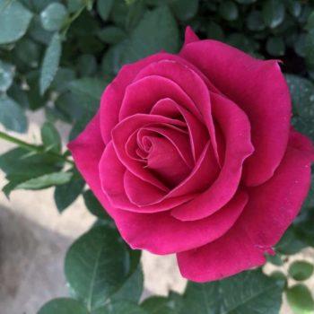 Роза Шакира-2