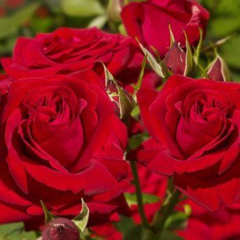 Роза Софи Лорен-2
