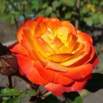 Роза Солнышко