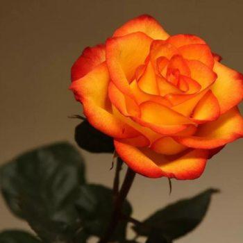 Роза Солнышко-2