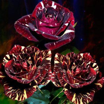Роза Абракадабра-1