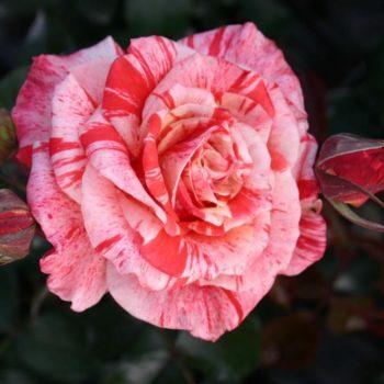 Роза Филателия-1