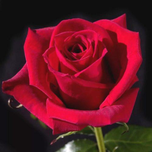 Роза Черри Лав