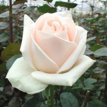 Роза Океан Клер-1