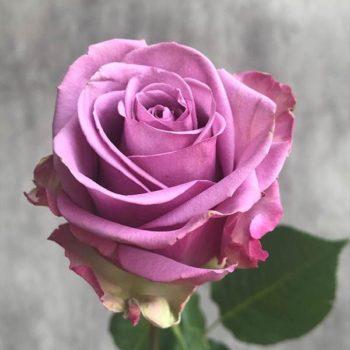 Роза Холодная Вода-1