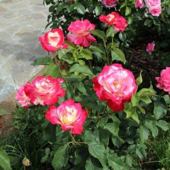 Роза Дабл Делайт-1