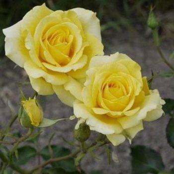 Роза Диана-1