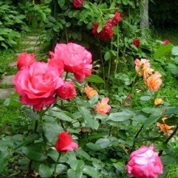 Роза Джиральдо-2