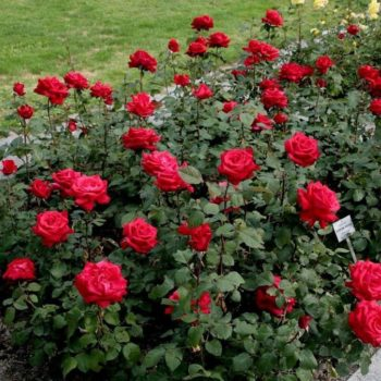 Роза Гранд Аморе-1