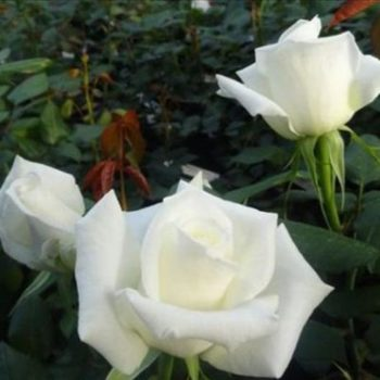Роза Маруся-1
