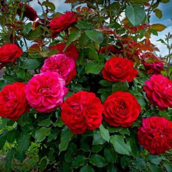 Роза Мона Лиза-1