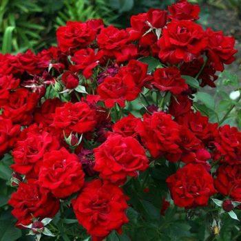 Роза Никколо Паганини-1