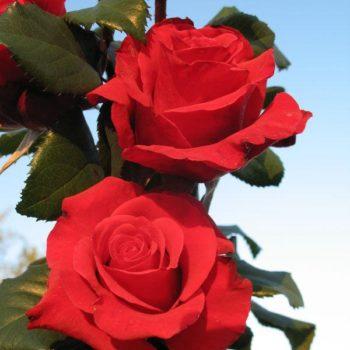 Роза Ред Берлин-1