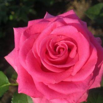 Роза Шакира