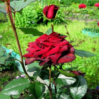 Роза Софи Лорен-1