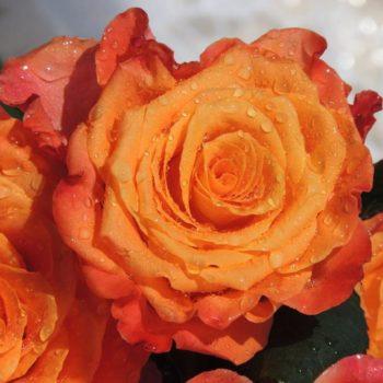 Роза Солнышко-1