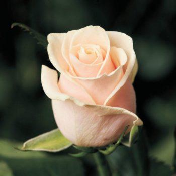 Роза Талея-2