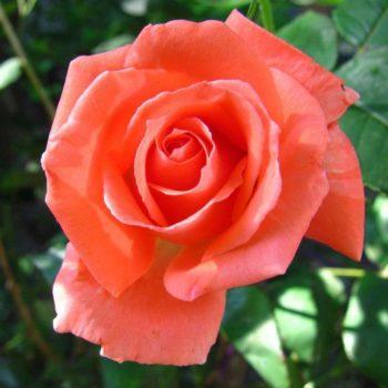 Роза Тропикана-2