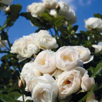 Роза Ютерзенер Клостеррозе-2