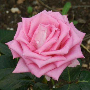 Роза Аква-1