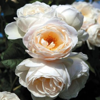 Роза Ютерзенер Клостеррозе-1
