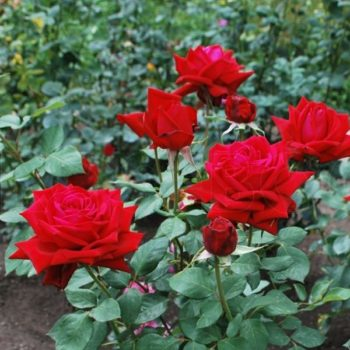 Роза Самурай-1