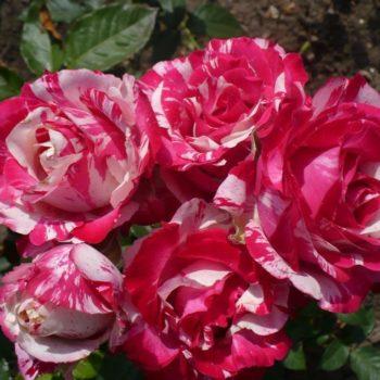 Роза Сатин-2