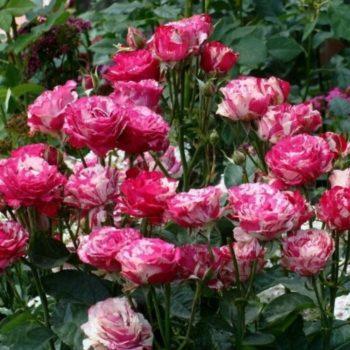 Роза Сатин-1