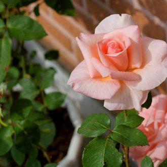 Роза Саммер Леди