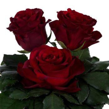 Роза Самурай-2