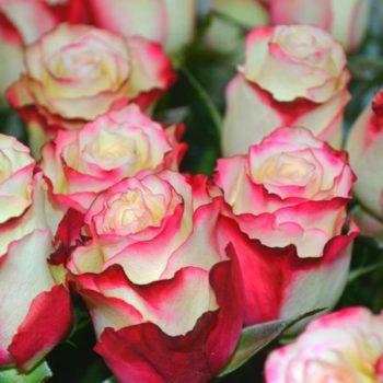 Роза Свитнес-2