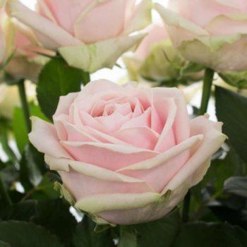 Роза Свит Аваланж-1