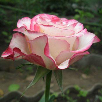 Роза Свитнес-1