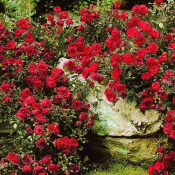 Роза Ред Фейри-1
