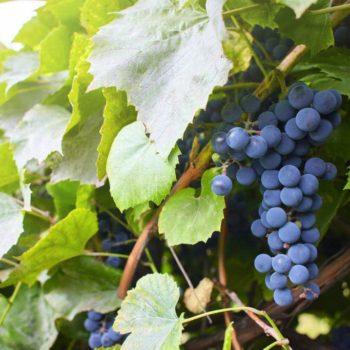 Виноград Агат донской-2